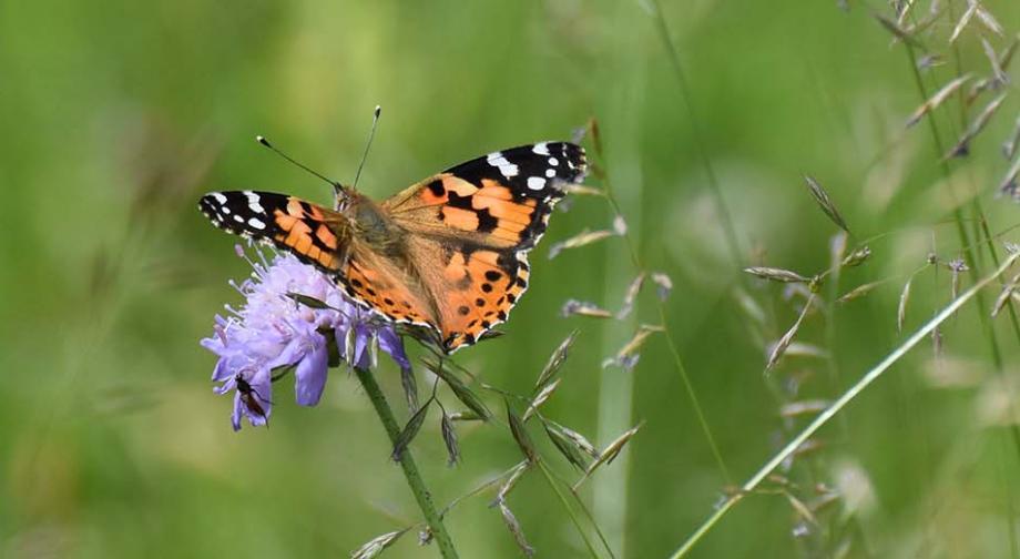 RNR Savoureuse - Papillon Belle-Dame - Nadine Enderlin
