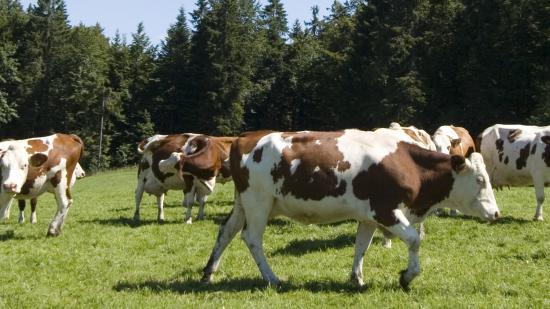 Vaches montbéliardes - Crédit Région Bourgogne-Franche-Comté / David Cesbron