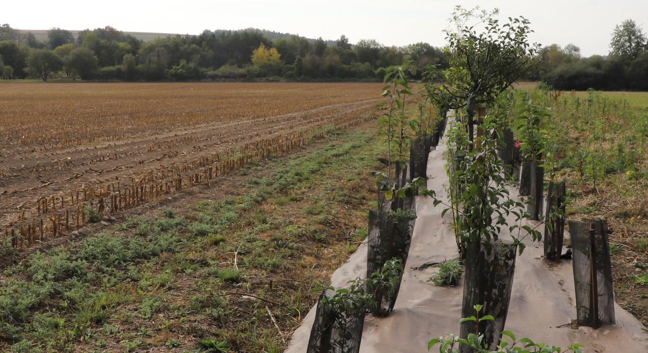 L'agroforesterie associe la plantation d'arbres aux cultures ou à l'élevage - Crédit photo Région Bourgogne-Franche-Comté
